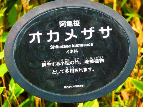 Shibataea Kumasaca 03